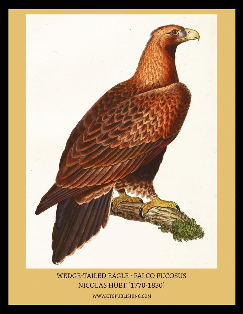 Wedge Tailed Eagle - Illustration by Nicolas Huet