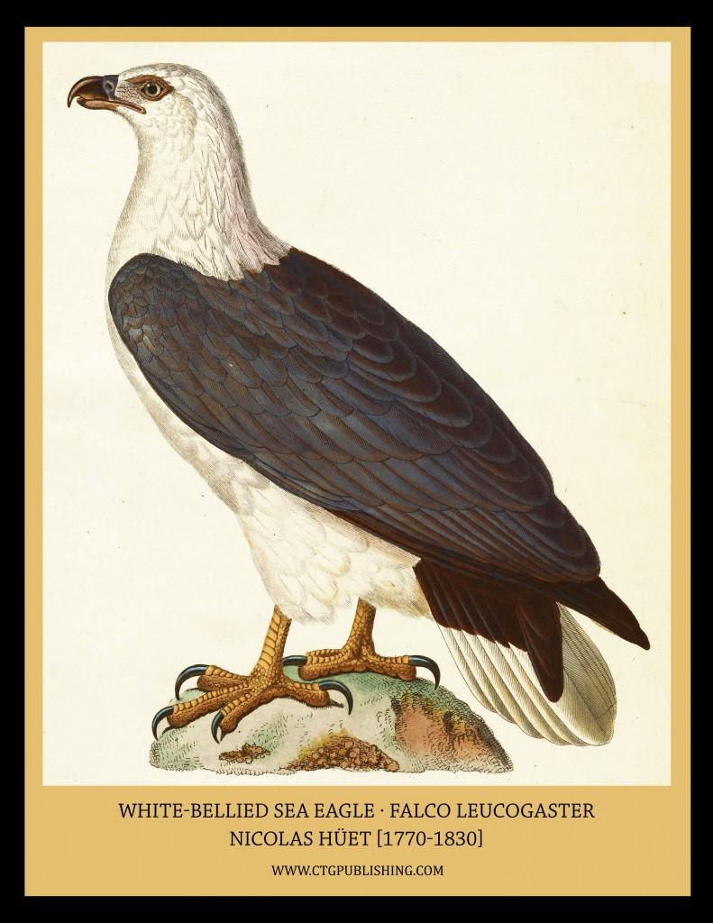 White Bellied Sea Eagle - Illustration by Nicolas Huet