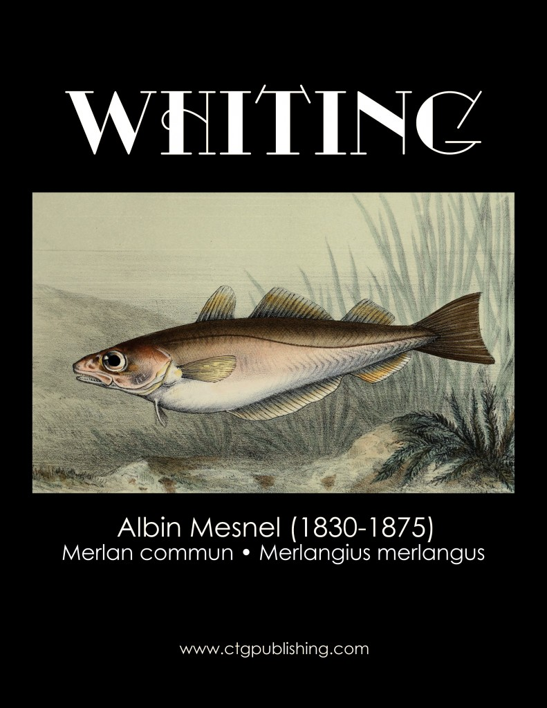 Whiting fish illustration by albin mesnel for Whiting fish picture