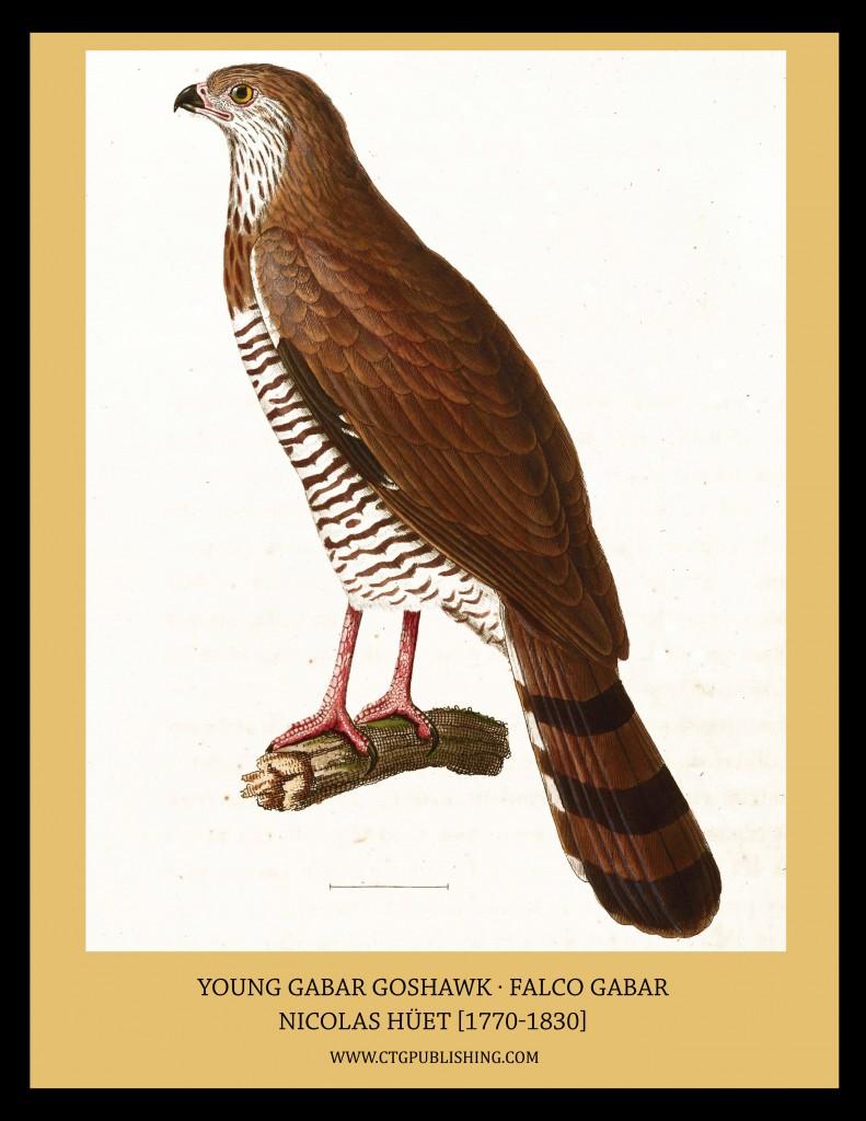 Young Gabar Goshawk - Illustration by Nicolas Huet