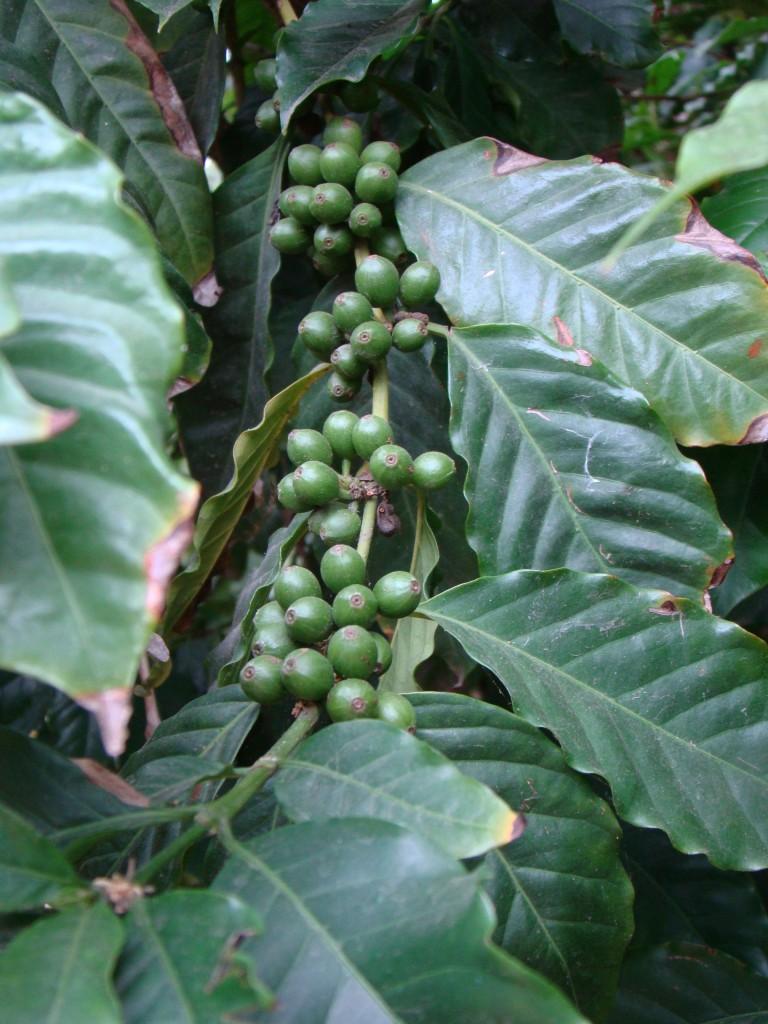 Coffea arabica coffee plant and fruit for Coffea arabica