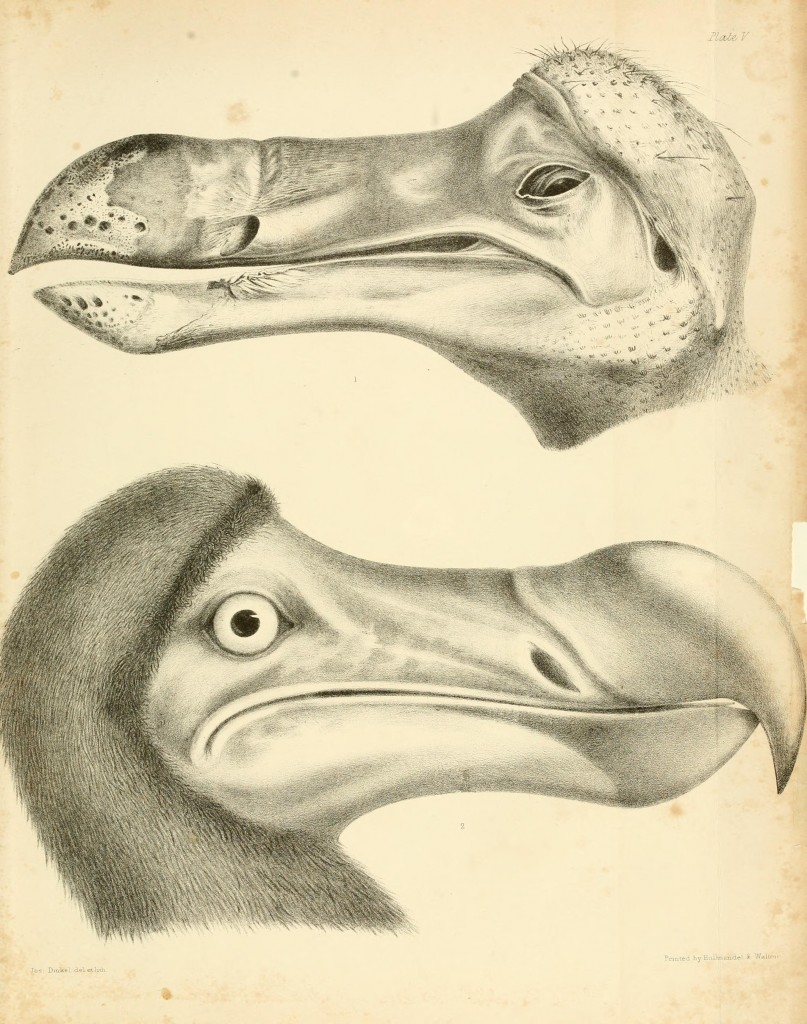 Dodo Bird Antique Print circa 1848