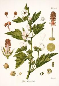 Marshmallow Plant Botanical Illustration