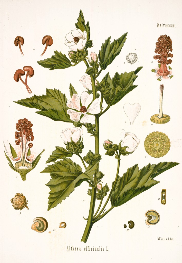 Marshmallow Plant Botanical Illustration