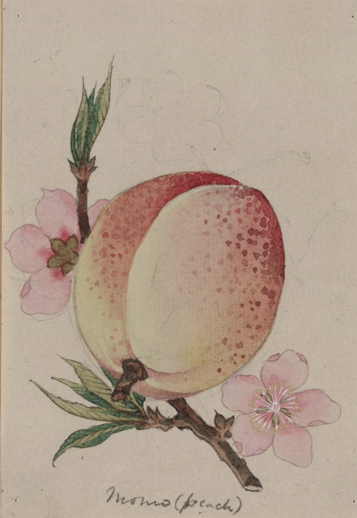 Peach Fruit and Blossom Illustration circa 1878