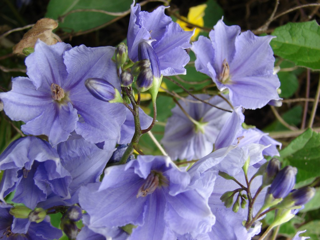 Purple flowers list with blooming seasons potato vine image by forest kim starr mightylinksfo