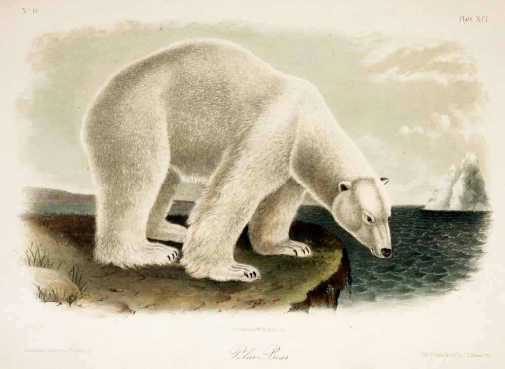 Polar Bear Ursus Maritimus Illustration By John Woodhouse Audubon circa 1851