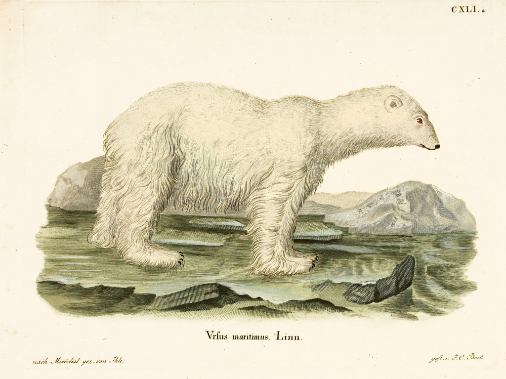 Ursus Maritimus Polar Bear Illustration From Quadrupeds Illustrations From Nature Schreber 1846