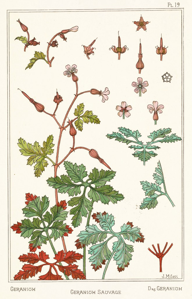 Juliette Milesi Art Nouveau Illustration: Geranium - Geranium Sauvage