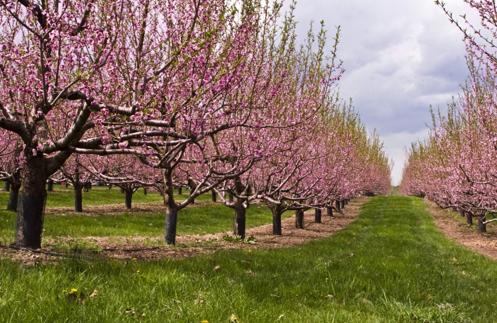 Nectarine  Orchard in Bloom Photograph by Liz West Flickr