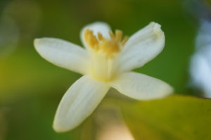 Orange Tree Blossom Photo 1