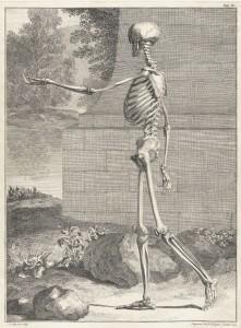 Skeleton Image by Jan Wandelaar 1690-1759 from Bernhard Siegfried Albinus 1697-1770 Tabulae sceleti circa 1749