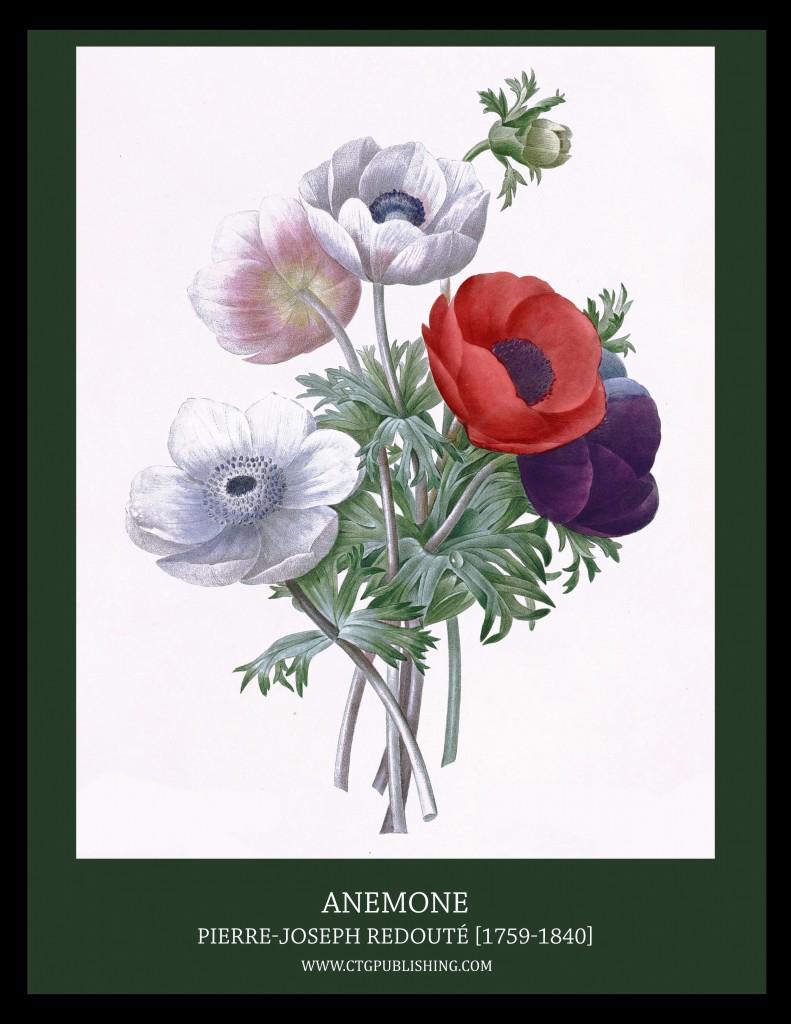 Anemone - Illustration by Pierre-Joseph Redoute